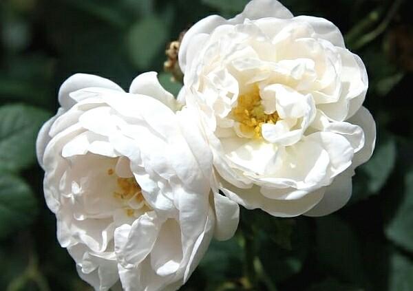 Дикая роза