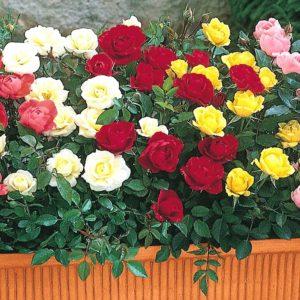Дикая роза морщинистая. Фото