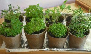 Ландыш — выращивание лесного колокольчика.
