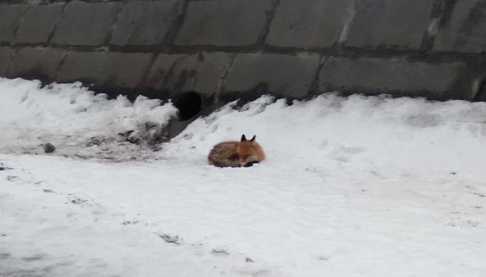 Спасенную со льдины в Москве лисицу отправили на карантин