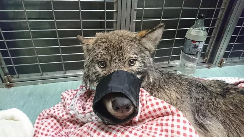 ВЭстонии рабочие спасли изреки замерзающую собаку. Вветклинике выяснилось, что это волк!