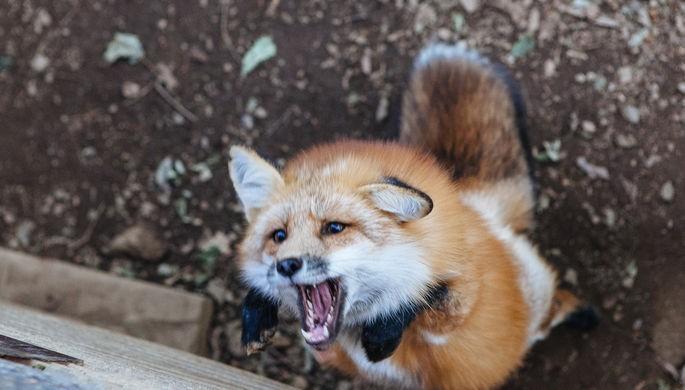 Нашествие диких лис зафиксировано в Москве