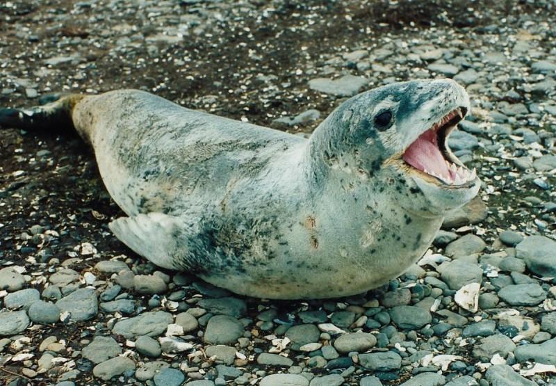 Впервые вистории. Морские леопарды поделились друг сдругом едой
